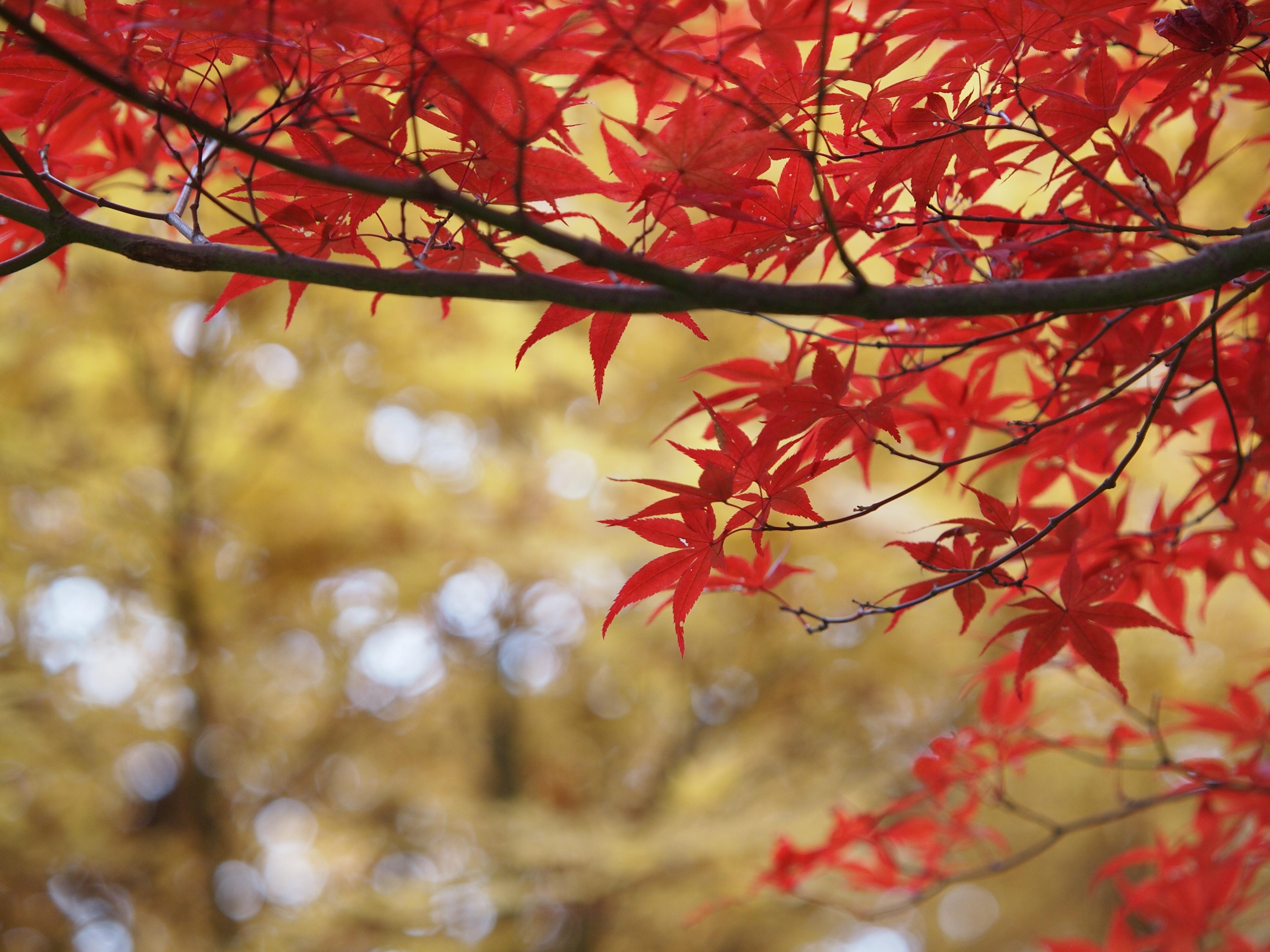 free printable fall leaf templates  u2013 maple leaves patterns
